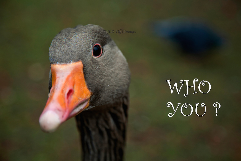 Head shot of a grey duck eyeing the camera with interest or inquiry.  He has an orange beak and a quizzical personality.