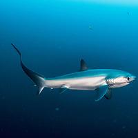 A pelagic thresher shark (Alopias pelagicus) photographed in the Philippines.