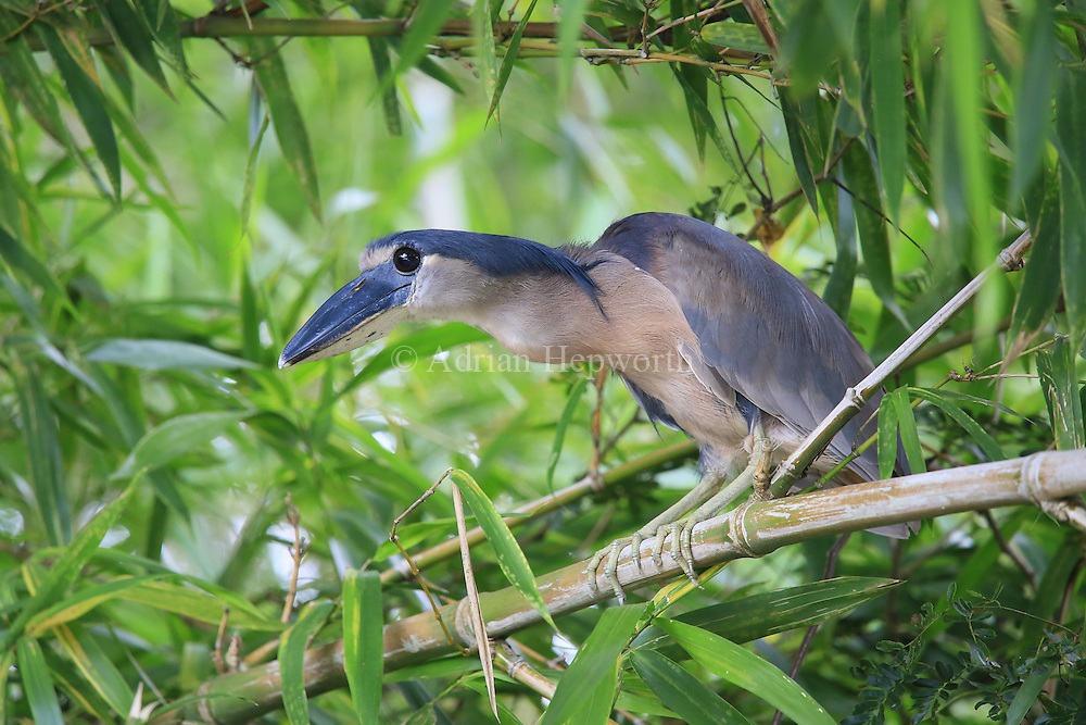 Boat-billed Heron (Cochlearius cochlearius) resting next to a river, Palo Verde National Park, Costa Rica. <br /> <br /> For pricing click on ADD TO CART (above). We accept payments via PayPal.