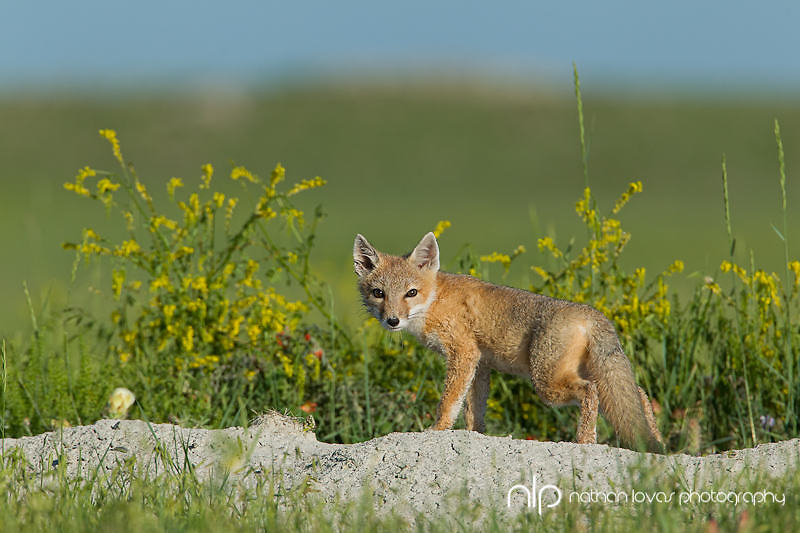 Swift fox kit at den with yellow flowers;  South Dakota in wild.