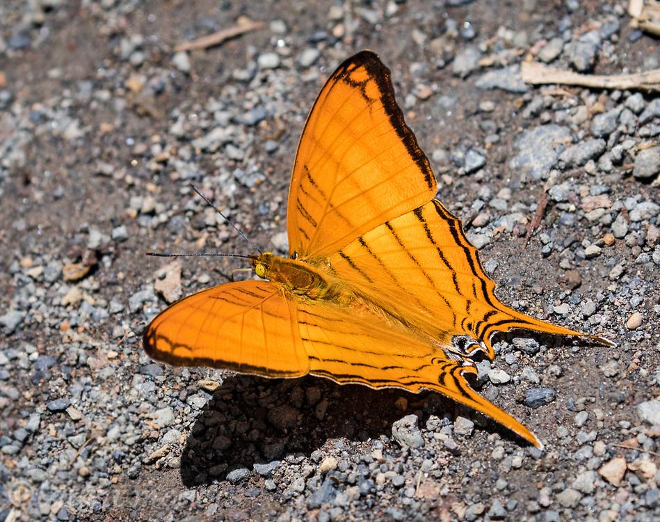 Orange Daggerwing butterfly