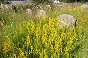 Yellow blossom of lady's bedstraw, Galium verum, in overgrown churchyard,  Sweffling, Suffolk, England, UK