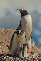 Gentoo Penguin family (Pygoscelis papua) with two chicks on Cuverville Island.