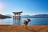 Japon, Ile de Honshu, Ile de Miyajima, sanctuaire shinto d'Itsukushima classé Patrimoine Mondial de l'UNESCO, le torii flottant, biche // Japan, Honshu island, Miyajima Island, The floating Miyajima torii gate of Itsukushima Shrine, UNESCO World Heritage Site, deer