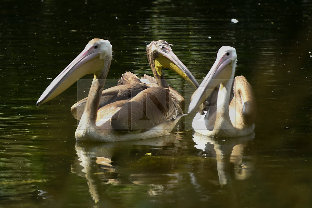 © Licensed to London News Pictures. 16/07/2019. LONDON, UK.  Three great white pelicans (Pelecanus onocrotalus) have been released in St James's Park.  A gift from Prague Zoo arriving at the end of May, the new pelicans have been kept hidden from public view while they settled in to their new surroundings.  The two males, Sun and Moon, and a female named Star (C), were hatched in February, and join a colony of three in the park.  Photo credit: Stephen Chung/LNP