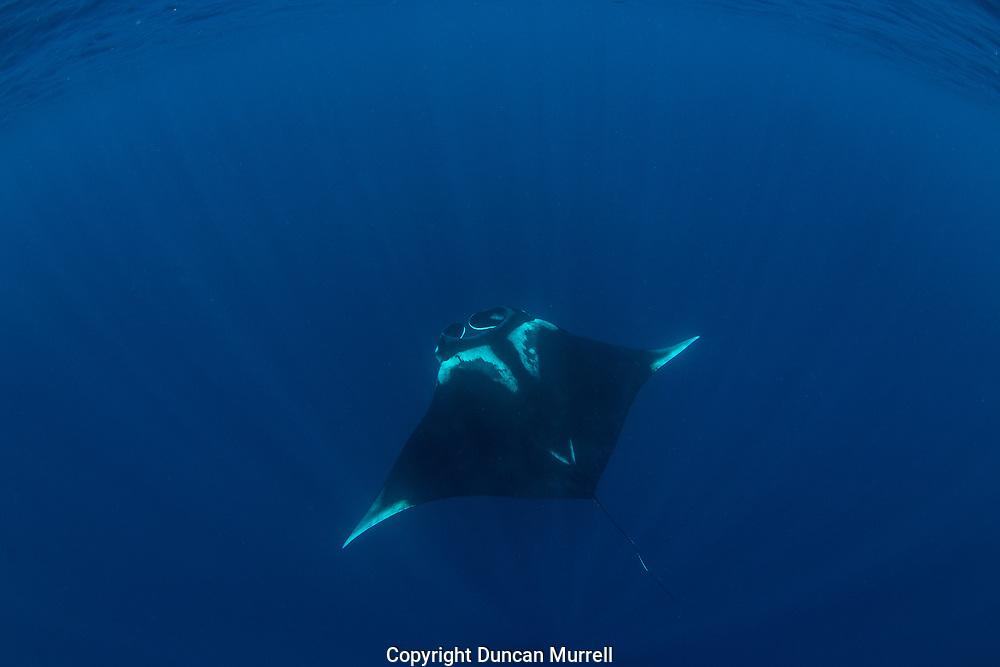Oceanic manta ray ( Manta birostris ), Honda Bay, Palawan, the Philippines