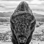 A close encounter with a Yellowstone National Park bison.