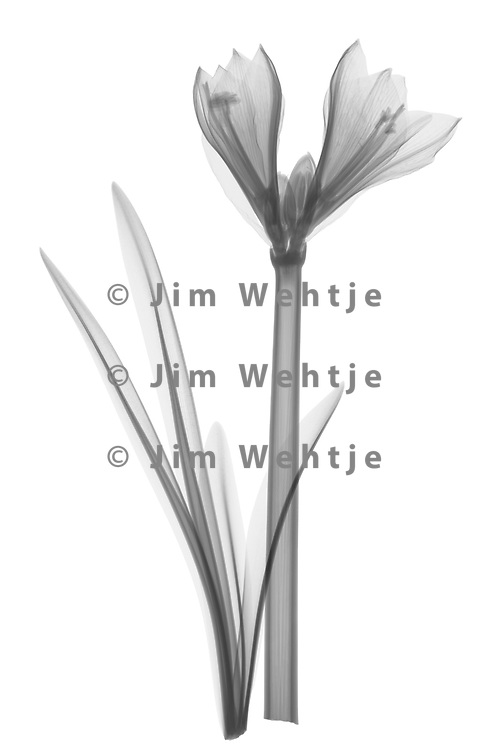 X-ray image of a young amaryllis flower (Hippeastrum, black on white) by Jim Wehtje, specialist in x-ray art and design images.