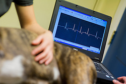 Boxer dog heart rate being monitored at Rushcliffe Veterinary Surgery, Nottingham, UK.