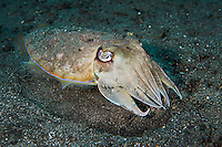 "A Cuttlefish emerges from its ""bed"" on the black volcanic sand seafloor<br /> <br /> Shot in Indonesia"