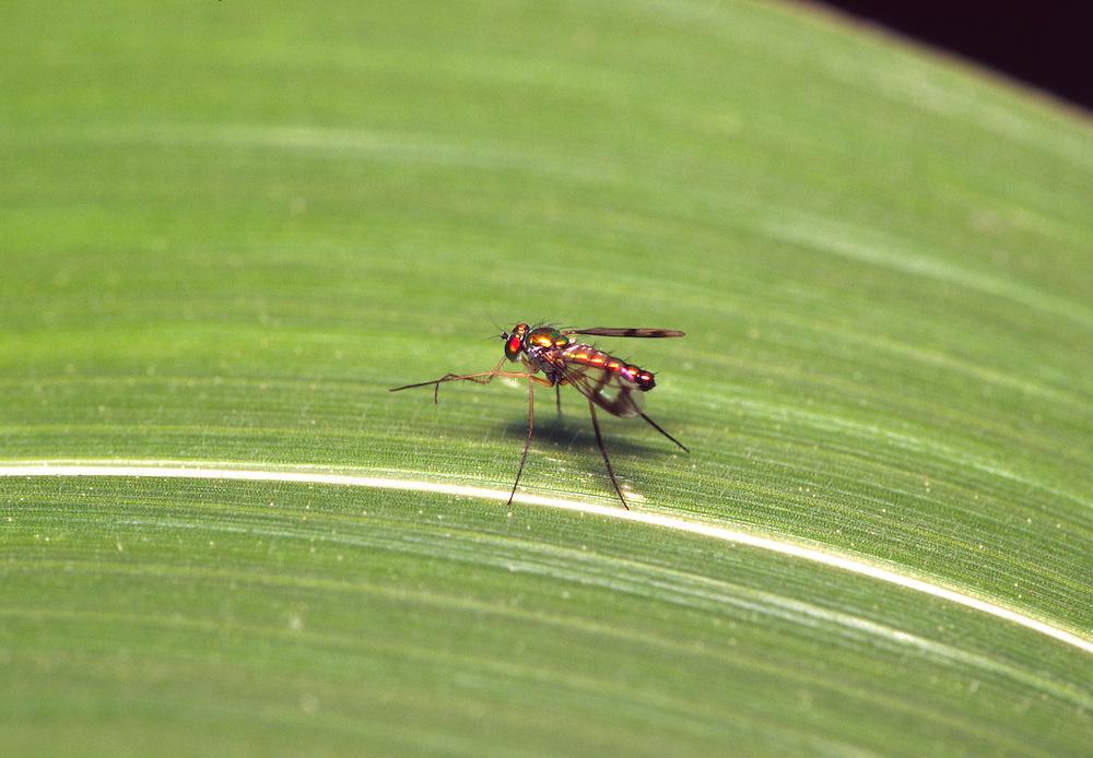 Long-legged Fly, Condylostylus spp.