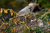 Great Blue Heron (Ardea herodius), on nest with two newly hatched chicks, Wakodahatchee Wetlands, Delray Beach, Florida, USA