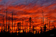Clouds resembling the flames of a raging wildfire light the evening sky over an area of forest partially burned by the Steamboat Fire in Yosemite National Park, California.  <br /> The Steamboat fire started on August 7, 1990 and eventually destroyed 6,106 acres of woodland. Wildfires have historically been considered disasters, but it is now understood that fire is an integral component of forest life.  Naturally occurring fires thin the woodlands, increase sunlight to the forest floor, and allow for recycling of nutrients to the soil.  Thus, wildfires actually encourage the germination and regrowth of the forest plants and trees.