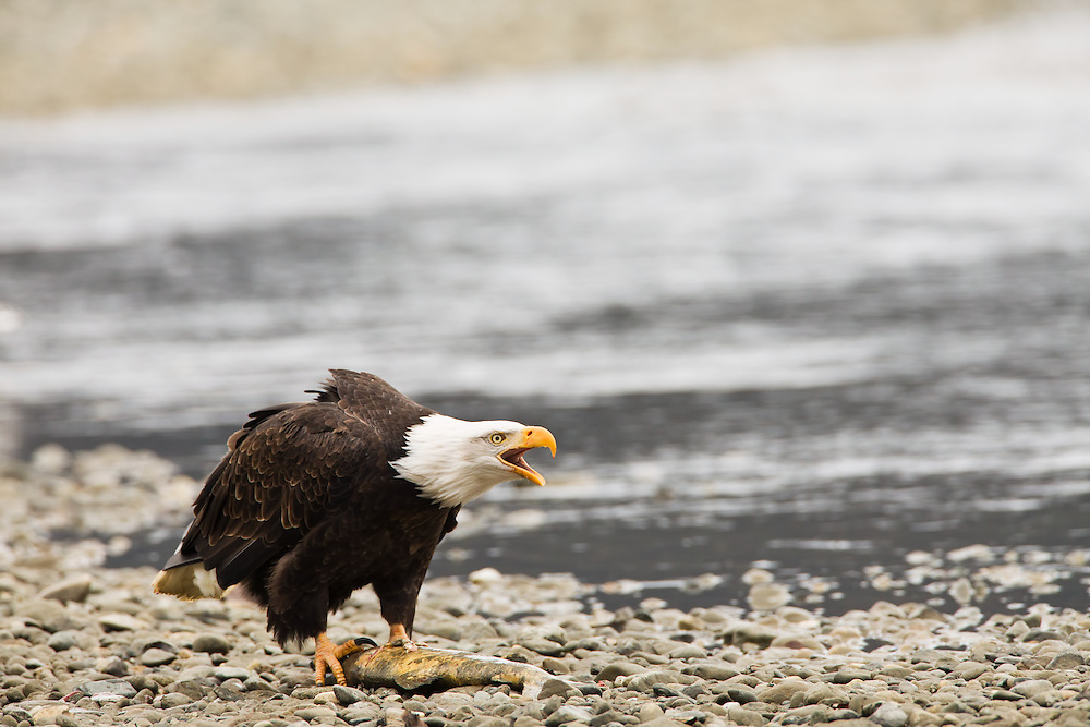 A bald eagle (Haliaeetus leucocephalus) with a salmon from the Chilkat River in the Chilkat Bald Eagle Preserve near Haines warns other eagles to stay away by vocalizing. Southeast Alaska. Winter. Morning.