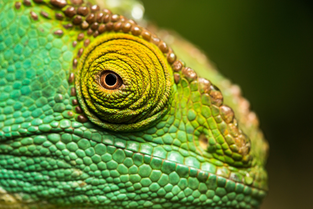 Africa, Madagascar, Close-up of captive Parson's Chameleon (Calumma parsonii) at private reserve near Andasibe-Mantadia National Park