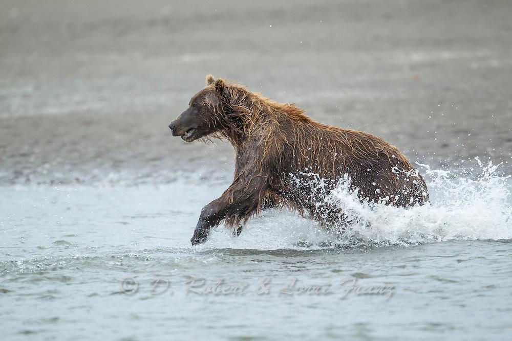 Alaskan brown bear chasing silver salmon