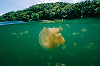 Mastigias jelly (jellyfish) in a jellyfish lake in Palau in an above/below water split level view.