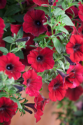 Petunia 'Tidal Wave Red Velour F1' -Tidal Wave Series
