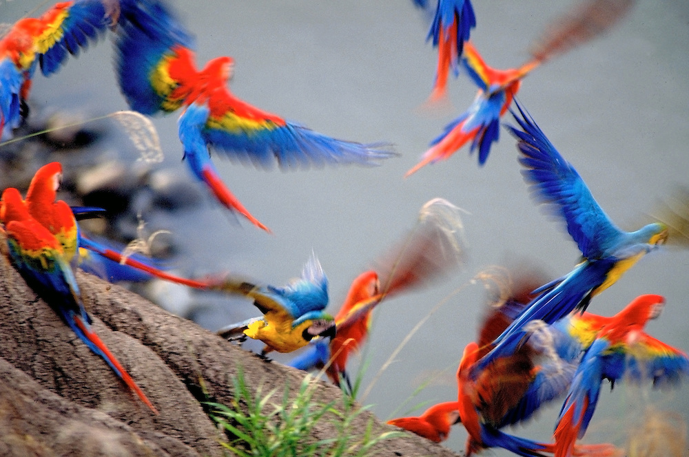 Scarlet Macaws take flight from a clay lick in Peru.