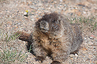 Yellow-bellied Marmot (Manota flaviventris) thrives on the alpine tundra.  Rocky Mountain National Park, Colorado.