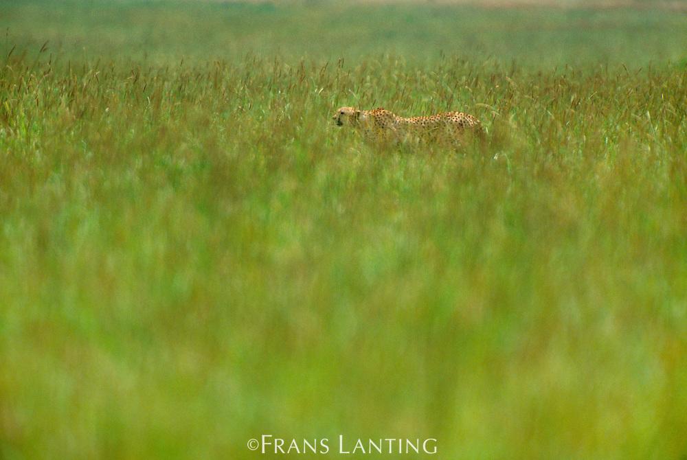 Cheetah hunting, Acinonyx jubatus, Masai Mara National Reserve, Kenya