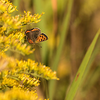 American Copper butterfly perched on Goldenrod