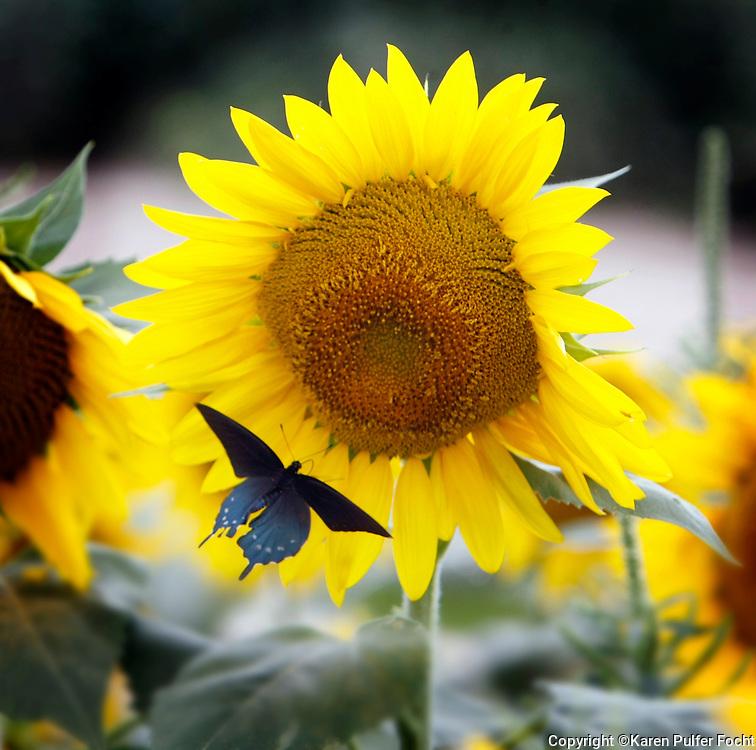 A sun flower  field on a hot  august summer morning, plays hosts to butterflies.
