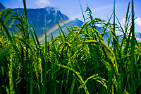 Rice stalks and a rainbow in Sapa, Vietnam.
