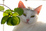 Cat and leafs of strawberry