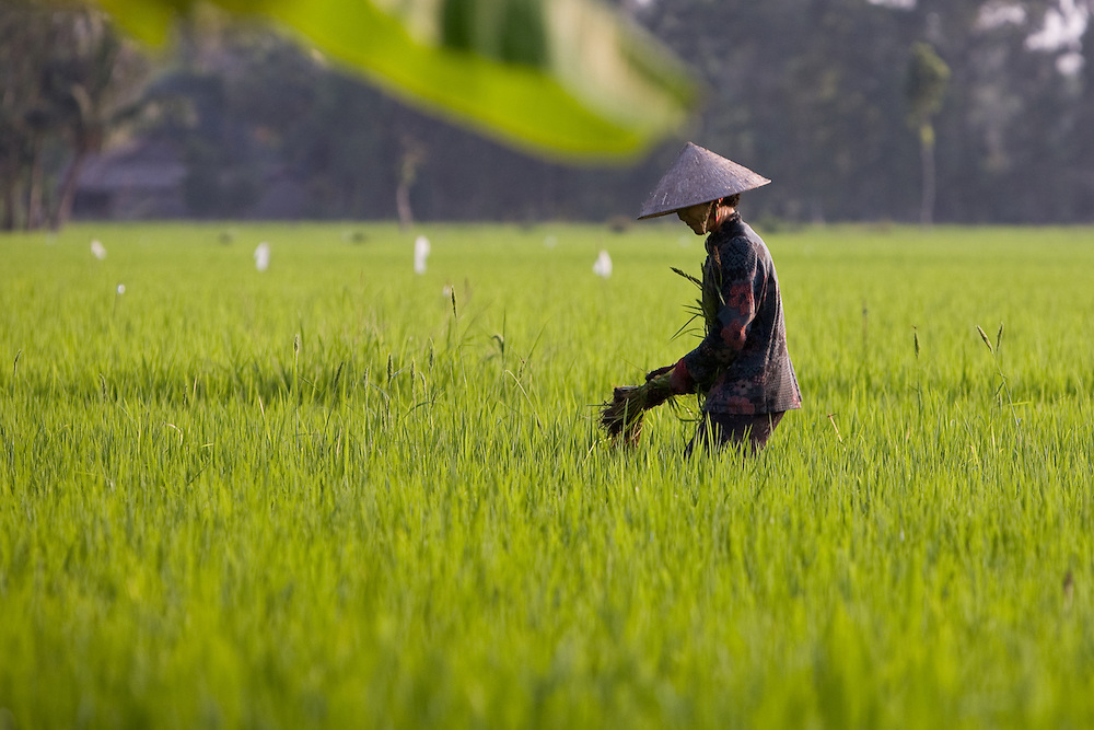 A rice farmer on her paddy, Mekong Delta, Vietnam