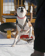 One of the dogs in the under twenty pound class barks at her owner who is trying to encourage her down the track during the weight pull competition at the 2010 Kalkaska Winterfest.