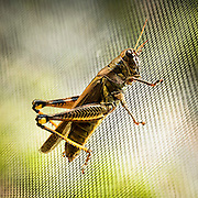 Grasshopper on Screen