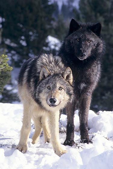 Gray Wolf, (Canis lupus) Montana. Winter.  Captive Animal.