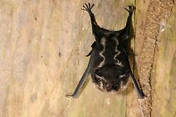 Greater Sac-winged Bat. (Saccopteryx bilineata), La Selva Biological Station, Costa Rica |  Sackflügel- oder Zweistreifenfledermäuse Saccopteryx bilineata, Namensgebend für diese Gattung ist eine sackförmige Einstülpung in der Vorderflughaut (Antebrachium) der Männchen (saccus: lat. der Sack; pteron: gr. der Flügel).  Die Tasche der Männchen beinhaltet eine duftende Flüssigkeit, die von den Männchen im Schwirrflug den Weibchen zugefächelt wird. Biologische Forschungsstation La Selva, Costa Rica