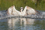 Osprey raises wings from water in preparation to take flight after striking a fish, © 2015 David A. Ponton