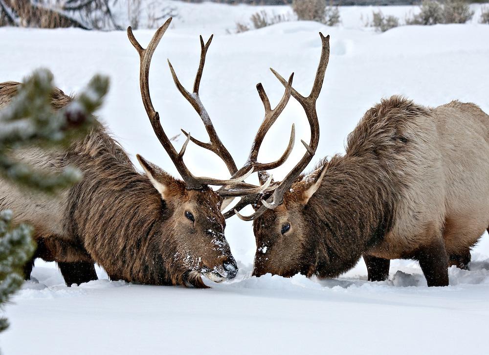 Bull Elks
