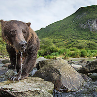 USA, Alaska, Katmai National Park, Close-up view of Coastal Brown Bear and spring cub (Ursus arctos) fishing for spawning salmon in stream by Kuliak Bay