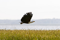 Lake Naivasha is a freshwater lake in Kenya, lying north west of Nairobi, outside the town of Naivasha. It is part of the Great Rift Valley. The African Fish Eagle is one of many species of birds on lake / Aguia Pescadora Africana, uma das muitas especies de aves encontradas no Lago Naivasha