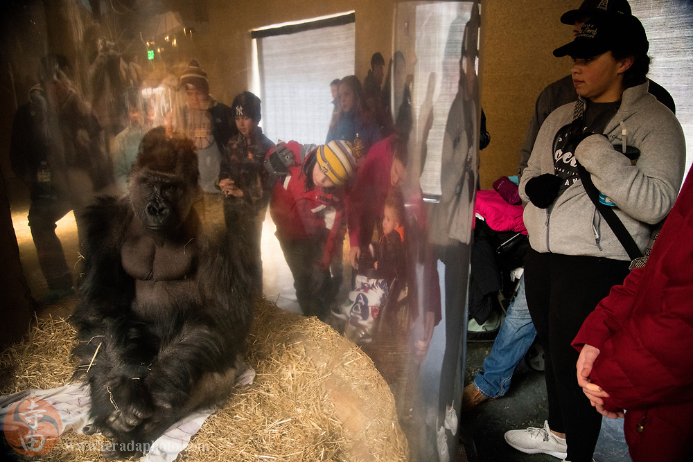 March 24, 2018; Omaha, NE, USA; A Gorilla in the Hubbard Gorilla Valley at Omaha's Henry Doorly Zoo and Aquarium.