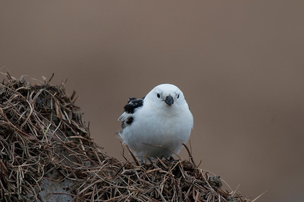 Snow bunting (Plectrophenax nivalis nivalis) near Barrow Alaska