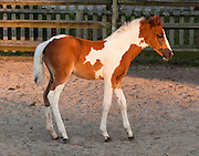 "A privately owned Chincoteague Pony is displayed at a motel on Chincoteague Island, Virginia, USA. The Chincoteague Pony (or Assateague horse) is a breed of small horse (Equus ferus caballus) which lives wild on Assateague Island in Virginia and Maryland, USA. The breed was made famous by the ""Misty of Chincoteague"" series written by Marguerite Henry starting in 1947. They can be any solid color, and are often found in attractive pinto patterns. Island Chincoteagues live on a poor diet of salt marsh plants and brush. Legend claims that Chincoteague ponies descend from wrecked Spanish galleons. They more likely descend from stock released by 1600s colonists escaping laws and taxes on mainland livestock. In 1835, pony penning began, with settlers rounding up and removing some ponies. In 1924 the Chincoteague Volunteer Fire Company held the first official ""Pony Penning Day,"" where ponies were auctioned to raise money, as done ever since. The federal government owns Assateague Island, which is split by a fence at the Maryland/Virginia state line, with a herd of around 150 ponies living on each side of the fence managed separately. The Maryland herd of ""Assateague horses"" lives within Assateague Island National Seashore and is treated as wild, except for contraceptives given to prevent overpopulation. The Virginia herd of ""Chincoteague ponies"" lives within the Chincoteague National Wildlife Refuge but is owned by the Chincoteague Volunteer Fire Company. The Virginia ponies get twice yearly veterinary inspections to cover possible auction sale into the outside world. Only about 300 ponies live on Assateague Island, but 1000 more live off-island, having been privately purchased or bred."