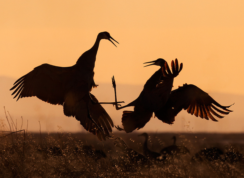 In this spectacular rite of spring, sandhill cranes perform a lively and elegant courtship dance.
