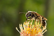 A small sweat bee (halictus ligatus) on flower stamens, Western Oregon.