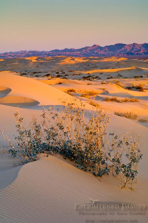 Desert plant in sand dunes at sunrise, North Algodones Dunes Wilderness, Imperial County, California
