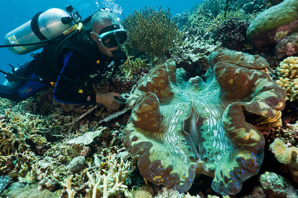 Diver examining a giant clam, Cendrewasih Bay, West Papua, Indonesia.