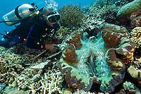 Diver examining a giant clam, Cendrewasih Bay, West Papua, Indonesia.