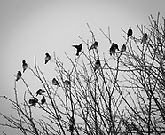 Cedar Wax Wings on snowy branches