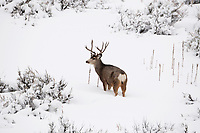 Antlers on the Mule Deer buck in the Rocky Mountains come in all different shapes and sizes.