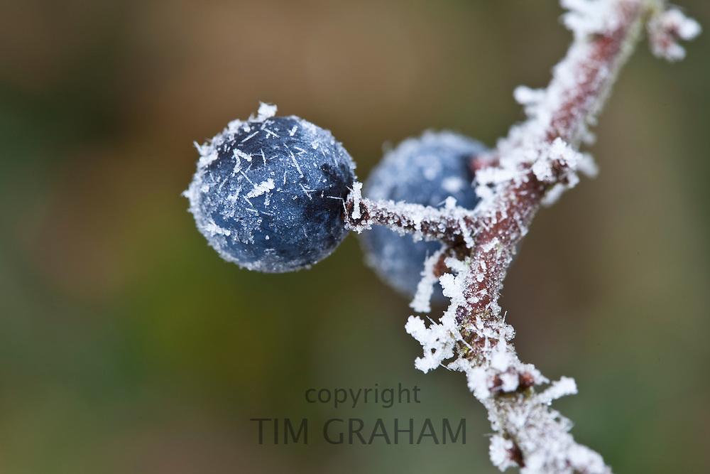 Winter scene hoar frost on sloe berries in The Cotswolds, UK