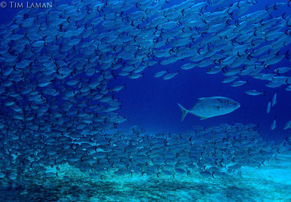 A jack passes through a school of trevally on a reef in the Philippines